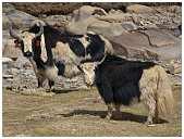 slides/95017413.jpg Himalaya Indien Kloster Ladakh Motorrad Mönch Tanglangla Tempel Tso Moriri Tso kar 95017413